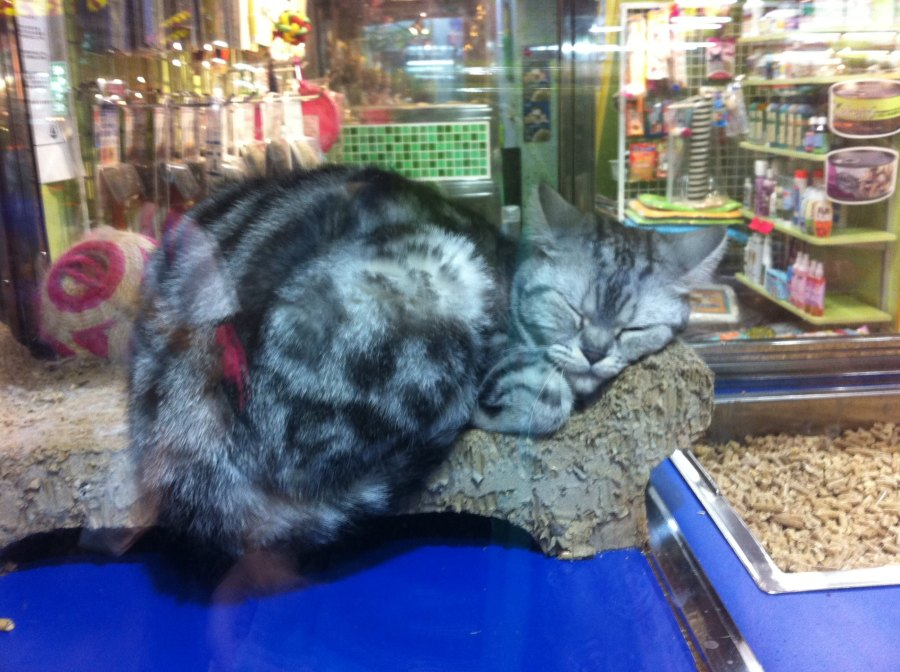 Here's a cat asleep in a pet shop window. Cats are a big feature of the city, strays and pets. They can't help the kitsch baggage that accompanies them in their expressive cuteness.