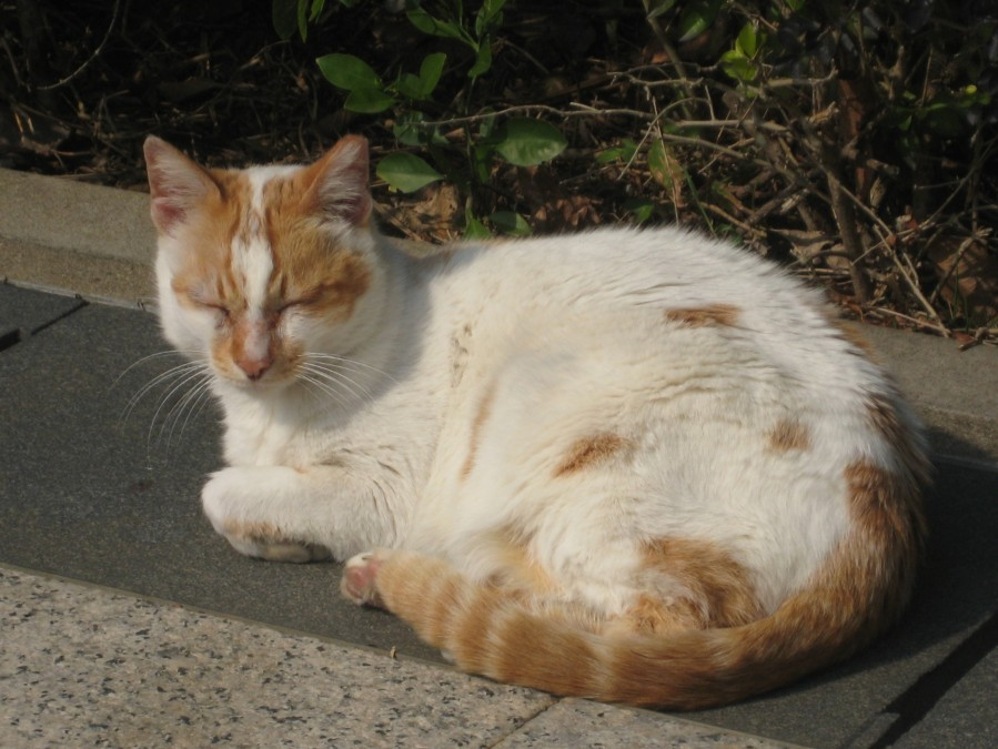 the stray cat who lives at the Wan Chai gap relaxing for a while in the warmth of  february sunshine